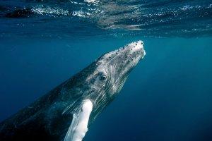 Boj o záchranu veľryby Wally v Santa Ponsa na Malorke / Malorka.sk
